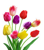 Tulips. In different colors isolated on white background