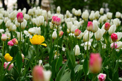 Tulips. Many white and pink tulips and two yellow stock images