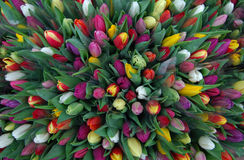Tulips. Photographed on the Leiden market royalty free stock photos
