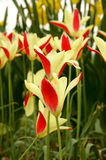 Tulips. Beautiful yellow and red tulips blooming in spring Stock Photo