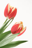 Tulips. Two red tulips on background Royalty Free Stock Image