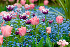 Tulips. A row of pink and purple tulips surrounded by pale blue forget-me-nots Stock Images
