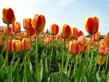 Tulips. At the Skagit Valley Tulip Festival in Washington state, USA stock photos
