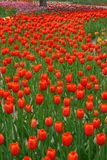 TULIPS-7 Royalty Free Stock Images
