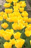 Tulips. Yellow Tulips stock photo