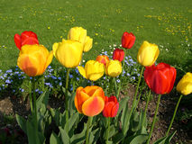 Tulips. Color Tulips royalty free stock images