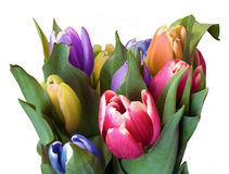 Tulips. A bunch of spring tulips Royalty Free Stock Images