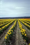 Tulips. Field Stock Images