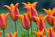 Tulips. Close up of oranfe tulips on green background Stock Photography