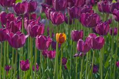 Tulips. Close up of red and yellow tulip at sunset Stock Photography