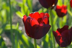 Tulips. Close up of raspberry pink tulip on dark background Royalty Free Stock Image