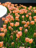 Tulips. At the  festival in Pitesti Royalty Free Stock Images