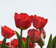 Tulips imagens de stock royalty free