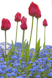 Tulips. In the park isolated from background stock photo