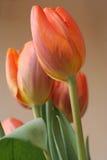Tulips. Orange tulips Stock Photography