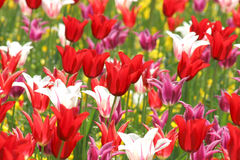 Tulips. Rife tulips royalty free stock photo