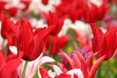 Tulips. In gardens stock photo