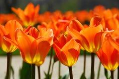 Free Tulips Royalty Free Stock Photos - 750858