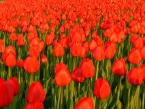Tulips. Red tulips garden - spring backgound royalty free stock photos