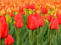 Tulips. Colorful tulips - beautiful background - spring stock photos