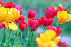 Tulips. Colorful tulips on the field Royalty Free Stock Image