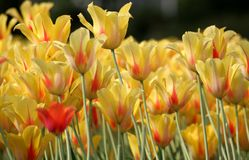 Tulips. Beautiful yellow and red tulips Stock Image