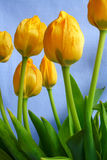 Tulips. Yellow tulip flowers royalty free stock photo