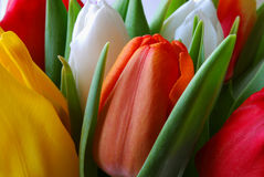 Tulips. In three different colors Stock Photo