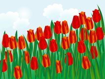 Tulips. Field of red tulips - vector illustration Royalty Free Stock Image