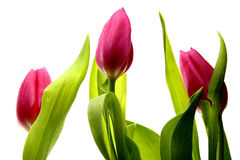 Tulips. Several pink Holland tulips with stems and leaves Royalty Free Stock Images