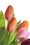 Tulips Stock Photo