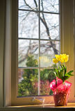 Tulips. Pink cellophane wrapped potted tulip on sill in front of paned glass bay window in springtime royalty free stock images
