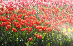 Tulips. Water the some pretty tulips Royalty Free Stock Images
