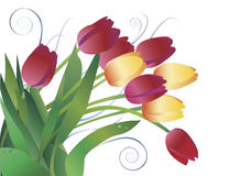 Tulips. Tulip, a beautiful spring flower in a green vase against white background. Decorative ornament to the left can be turned off to make copy space Stock Images
