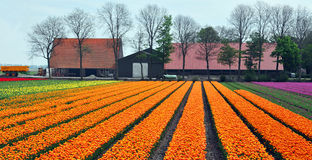 Tulips. Field of tulips in the Netherlands Stock Image