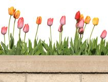 Tulips. Row of tulips growing behind stone wall Royalty Free Stock Photo