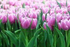 Tulips 3 Imagem de Stock