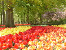 Tulips ablaze. This image was taken during a tour of the Keukenhof gardens Holland in 2013. Trees in the landscape are accentuated by mass planting of red Stock Photos