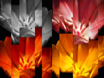 Tulips abstract background. Red orange yellow tulips striped abstract background stock photos