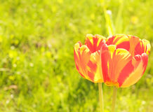 Tulips on the abstract blurred background Royalty Free Stock Photos