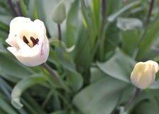 Tulips adiantados da mola Fotografia de Stock