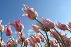 Tulips against blue skies