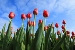 Tulips against blue sky. Red tulips against blue sky with some clouds Royalty Free Stock Images