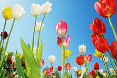 Tulips Against Blue Sky Royalty Free Stock Photo