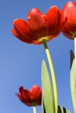 Tulips Against A Blue Sky. Bright red tulips against a clear blue sky Royalty Free Stock Photos