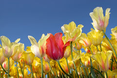 Tulips against blue sky Stock Images