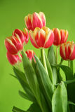 Tulips against green background. Tulips standing against green background stock photos