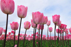 Tulips against the sky Stock Images