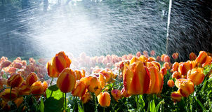 Tulips against spray. Garden of tulips against the light with water spray adding brilliance stock photography