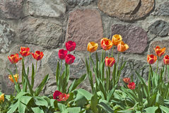 Tulips Against Stone Wall Royalty Free Stock Image